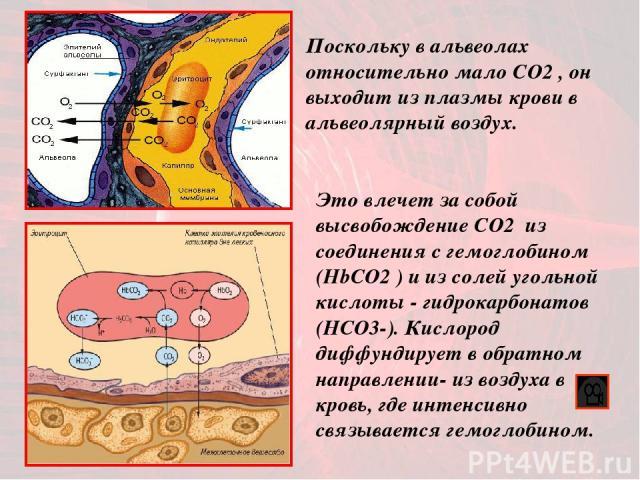Это влечет за собой высвобождение CO2 из соединения с гемоглобином (HbСO2 ) и из солей угольной кислоты - гидрокарбонатов (НСО3-). Кислород диффундирует в обратном направлении- из воздуха в кровь, где интенсивно связывается гемоглобином. Поскольку в…