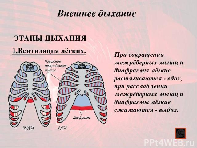Внешнее дыхание 1.Вентиляция лёгких. ЭТАПЫ ДЫХАНИЯ При сокращении межрёберных мышц и диафрагмы лёгкие растягиваются - вдох, при расслаблении межрёберных мышц и диафрагмы лёгкие сжимаются - выдох.