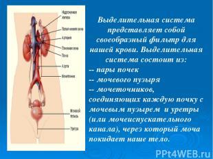 Выделительная система представляет собой своеобразный фильтр для нашей крови. Вы