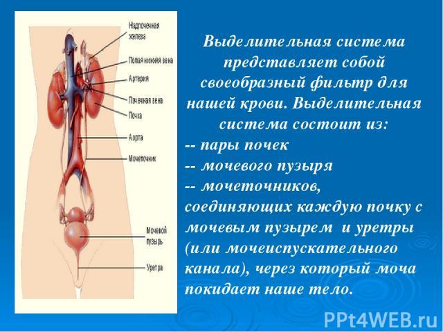 Выделительная система представляет собой своеобразный фильтр для нашей крови. Выделительная система состоит из: -- пары почек -- мочевого пузыря -- мочеточников, соединяющих каждую почку с мочевым пузырем и уретры (или мочеиспускательного канала), ч…