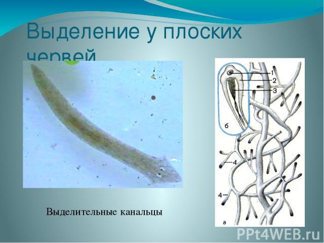 Выделение у плоских червей Выделительные канальцы