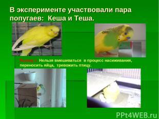 В эксперименте участвовали пара попугаев: Кеша и Теша. Вывод 1: Нельзя вмешивать