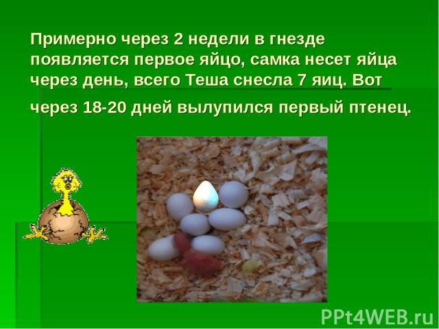 Примерно через 2 недели в гнезде появляется первое яйцо, самка несет яйца через день, всего Теша снесла 7 яиц. Вот через 18-20 дней вылупился первый птенец.