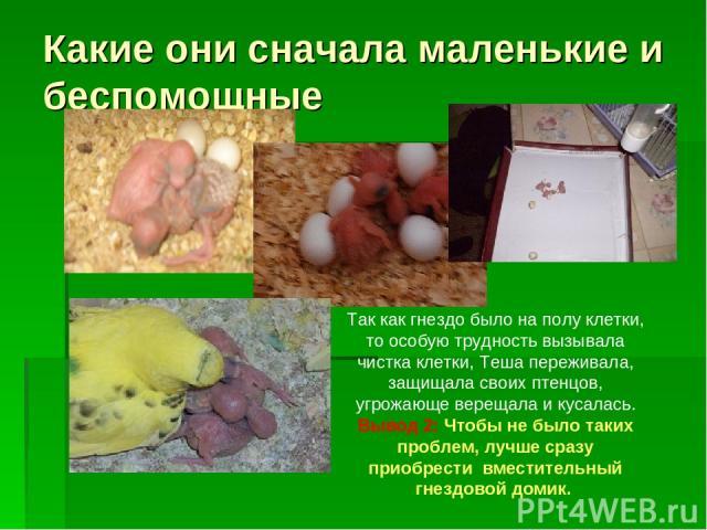 Какие они сначала маленькие и беспомощные Так как гнездо было на полу клетки, то особую трудность вызывала чистка клетки, Теша переживала, защищала своих птенцов, угрожающе верещала и кусалась. Вывод 2: Чтобы не было таких проблем, лучше сразу приоб…