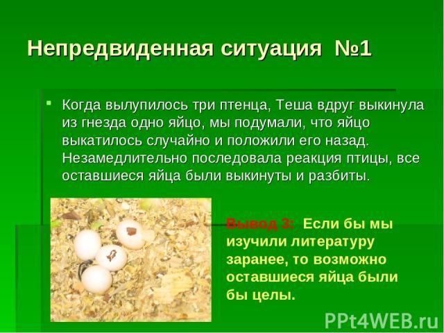 Непредвиденная ситуация №1 Когда вылупилось три птенца, Теша вдруг выкинула из гнезда одно яйцо, мы подумали, что яйцо выкатилось случайно и положили его назад. Незамедлительно последовала реакция птицы, все оставшиеся яйца были выкинуты и разбиты. …