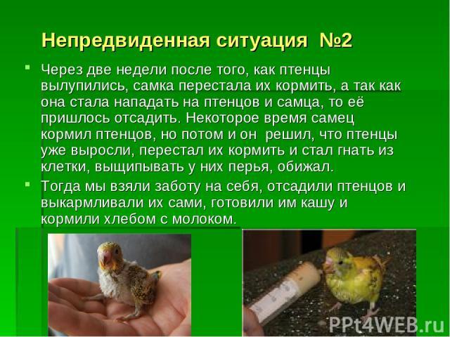 Непредвиденная ситуация №2 Через две недели после того, как птенцы вылупились, самка перестала их кормить, а так как она стала нападать на птенцов и самца, то её пришлось отсадить. Некоторое время самец кормил птенцов, но потом и он решил, что птенц…