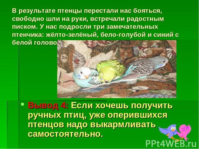 В результате птенцы перестали нас бояться, свободно шли на руки, встречали радостным писком. У нас подросли три замечательных птенчика: жёлто-зелёный, бело-голубой и синий с белой головой. Вывод 4: Если хочешь получить ручных птиц, уже оперившихся п…