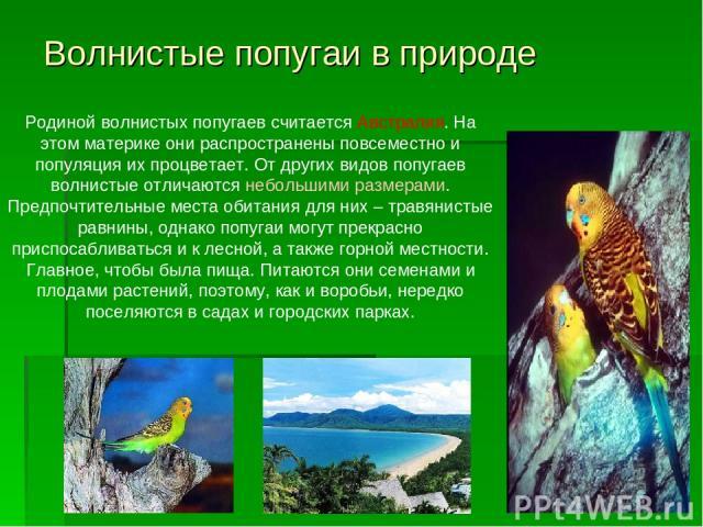 Волнистые попугаи в природе Родиной волнистых попугаев считается Австралия. На этом материке они распространены повсеместно и популяция их процветает. От других видов попугаев волнистые отличаются небольшими размерами. Предпочтительные места обитани…