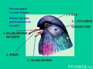 Рассмотрите голову птицы. Какие органы располагаются на ней? 1. 2. 3. 5. 4. ГЛАЗ