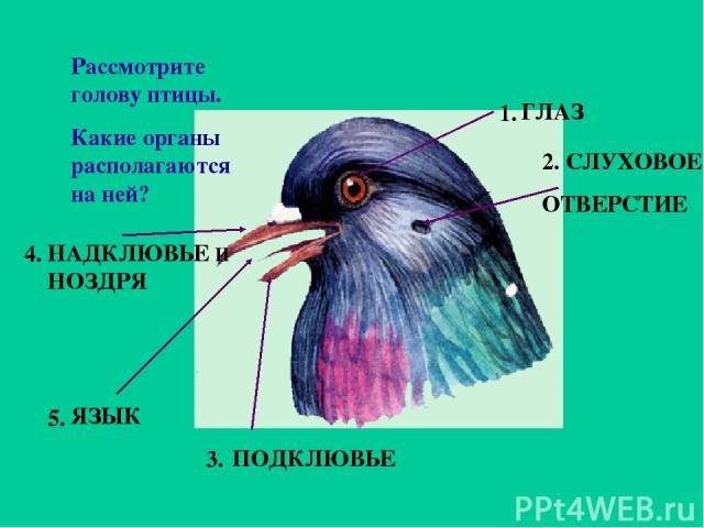 Рассмотрите голову птицы. Какие органы располагаются на ней? 1. 2. 3. 5. 4. ГЛАЗ СЛУХОВОЕ ОТВЕРСТИЕ ПОДКЛЮВЬЕ ЯЗЫК НАДКЛЮВЬЕ И НОЗДРЯ