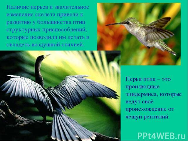Наличие перьев и значительное изменение скелета привели к развитию у большинства птиц структурных приспособлений, которые позволили им летать и овладеть воздушной стихией. Перья птиц – это производные эпидермиса, которые ведут своё происхождение от …