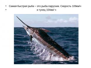 Самая быстрая рыба – это рыба-парусник. Скорость 109км/ч и тунец 104км/ ч