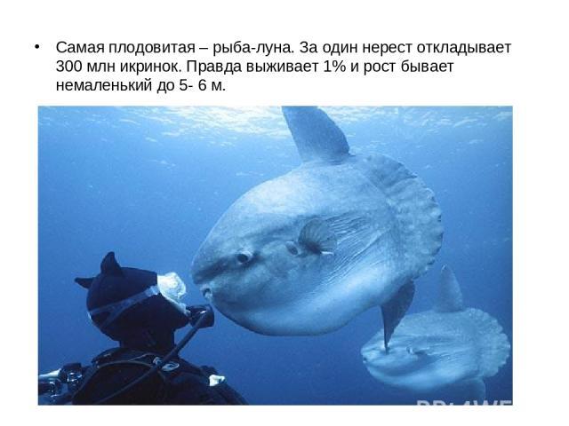 Самая плодовитая – рыба-луна. За один нерест откладывает 300 млн икринок. Правда выживает 1% и рост бывает немаленький до 5- 6 м.
