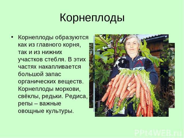 Корнеплоды Корнеплоды образуются как из главного корня, так и из нижних участков стебля. В этих частях накапливается большой запас органических веществ. Корнеплоды моркови, свёклы, редьки. Редиса, репы – важные овощные культуры.