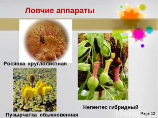 Ловчие аппараты Росянка круглолистная Пузырчатка обыкновенная Непентес гибридный