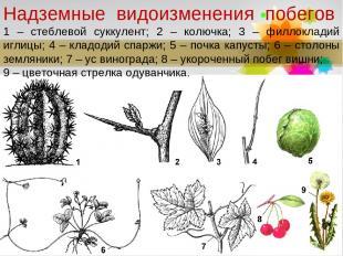 Надземные видоизменения побегов 1 – стеблевой суккулент; 2 – колючка; 3 – филл