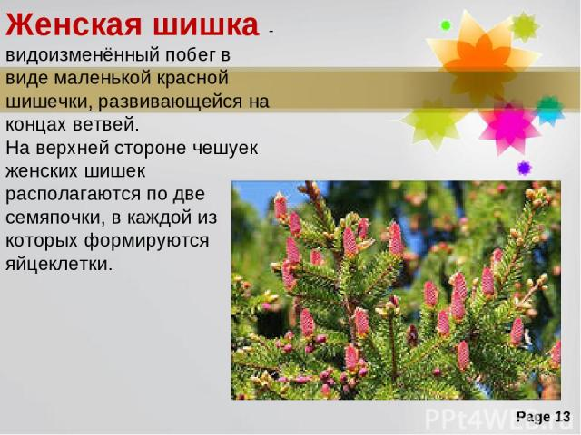 Женская шишка - видоизменённый побег в виде маленькой красной шишечки, развивающейся на концах ветвей. На верхней стороне чешуек женских шишек располагаются по две семяпочки, в каждой из которых формируются яйцеклетки. Page *