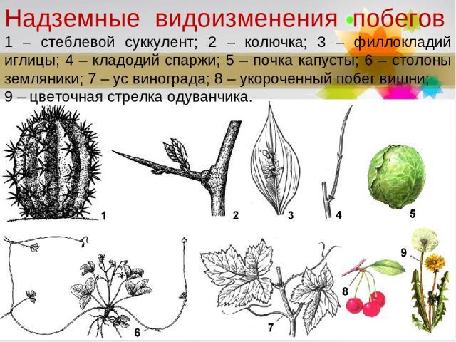 Надземные видоизменения побегов 1 – стеблевой суккулент; 2 – колючка; 3 – филлокладий иглицы; 4 – кладодий спаржи; 5 – почка капусты; 6 – столоны земляники; 7 – ус винограда; 8 – укороченный побег вишни; 9 – цветочная стрелка одуванчика. Page *