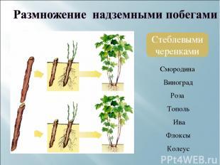 Стеблевыми черенками Смородина Виноград Роза Тополь Ива Флоксы Колеус