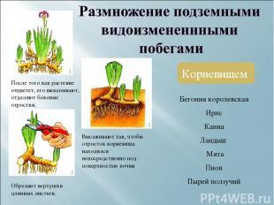 Корневищем После того как растение отцветет, его выкапывают, отделяют боковые от
