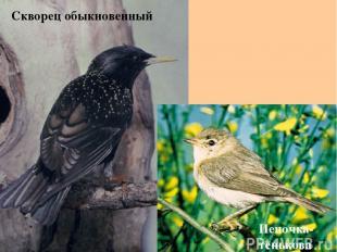 Скворец обыкновенный Пеночка- тенькова