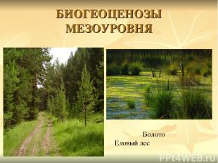 БИОГЕОЦЕНОЗЫ МЕЗОУРОВНЯ Болото Еловый лес
