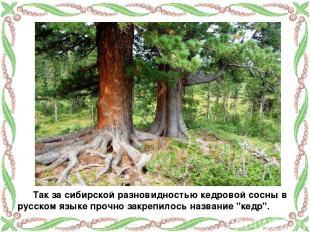 Так за сибирской разновидностью кедровой сосны в русском языке прочно закрепилос