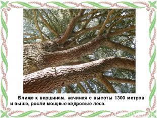 Ближе к вершинам, начиная с высоты 1300 метров и выше, росли мощные кедровые лес