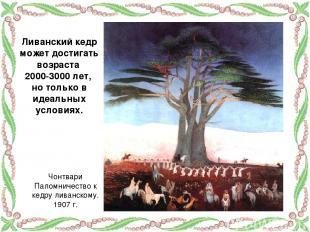 Ливанский кедр может достигать возраста 2000-3000 лет, но только в идеальных усл