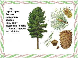 На территории России сибирским кедром называют кедровую сосну - Pinus cembra var