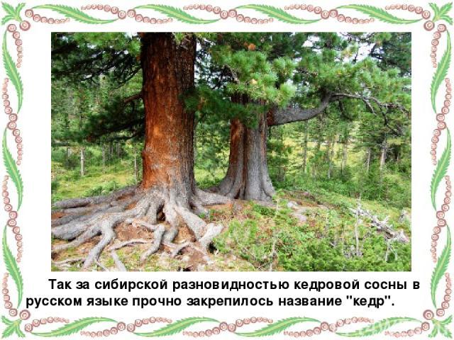 Так за сибирской разновидностью кедровой сосны в русском языке прочно закрепилось название