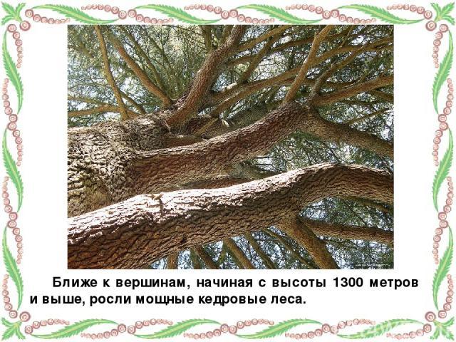 Ближе к вершинам, начиная с высоты 1300 метров и выше, росли мощные кедровые леса.