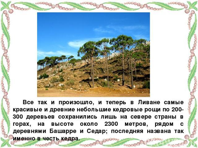 Все так и произошло, и теперь в Ливане самые красивые и древние небольшие кедровые рощи по 200-300 деревьев сохранились лишь на севере страны в горах, на высоте около 2300 метров, рядом с деревнями Башарре и Седар; последняя названа так именно в чес…