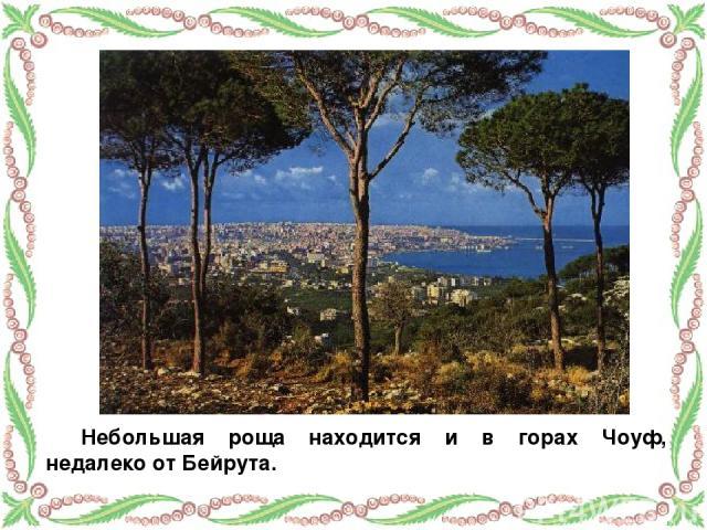 Небольшая роща находится и в горах Чоуф, недалеко от Бейрута.