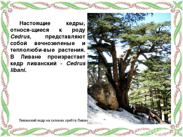 Настоящие кедры, относя-щиеся к роду Cedrus, представляют собой вечнозеленые и теплолюби-вые растения. В Ливане произрастает кедр ливанский - Cedrus libani. Ливанский кедр на склонах хребта Ливан