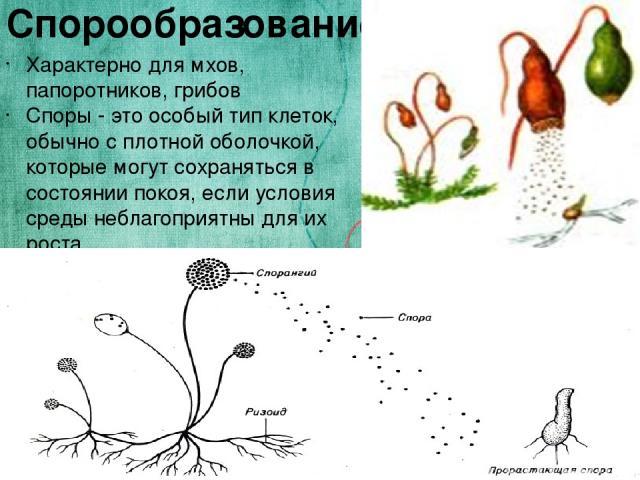 Спорообразование Характерно для мхов, папоротников, грибов Споры - это особый тип клеток, обычно с плотной оболочкой, которые могут сохраняться в состоянии покоя, если условия среды неблагоприятны для их роста