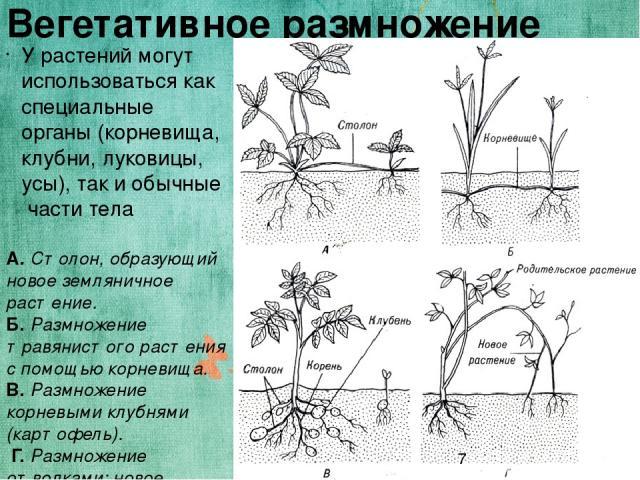 Вегетативное размножение У растений могут использоваться как специальные органы (корневища, клубни, луковицы, усы), так и обычные части тела А. Столон, образующий новое земляничное растение. Б. Размножение травянистого растения с помощью корневища. …