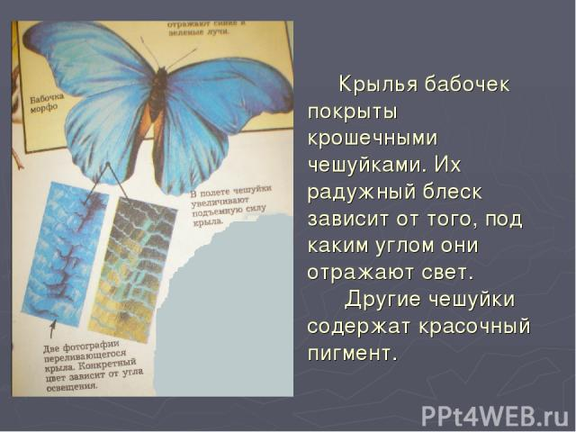 Крылья бабочек покрыты крошечными чешуйками. Их радужный блеск зависит от того, под каким углом они отражают свет. Другие чешуйки содержат красочный пигмент.