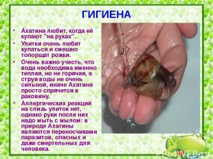 """ГИГИЕНА Ахатина любит, когда её купают """"на руках"""". Улитки очень любят купаться и"""
