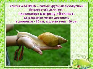 Улитка АХАТИНА – самый крупный сухопутный брюхоногий моллюск. Принадлежит к отря