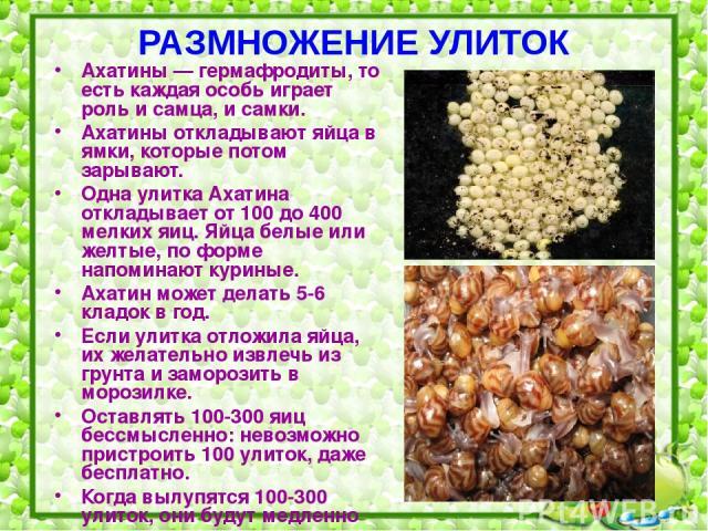 РАЗМНОЖЕНИЕ УЛИТОК Ахатины — гермафродиты, то есть каждая особь играет роль и самца, и самки. Ахатины откладывают яйца в ямки, которые потом зарывают. Одна улитка Ахатина откладывает от 100 до 400 мелких яиц. Яйца белые или желтые, по форме напомина…