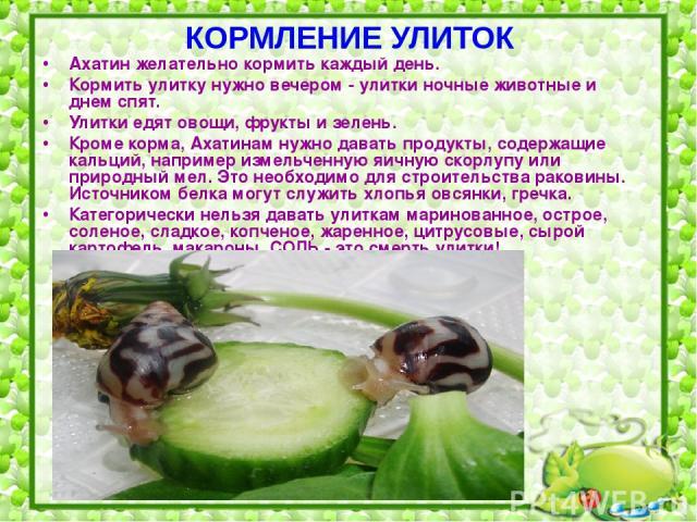 КОРМЛЕНИЕ УЛИТОК Ахатин желательно кормить каждый день. Кормить улитку нужно вечером - улитки ночные животные и днем спят. Улитки едят овощи, фрукты и зелень. Кроме корма, Ахатинам нужно давать продукты, содержащие кальций, например измельченную яич…