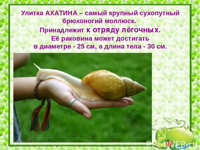 Улитка АХАТИНА – самый крупный сухопутный брюхоногий моллюск. Принадлежит к отряду лёгочных. Её раковина может достигать в диаметре - 25 см, а длина тела - 30 см.
