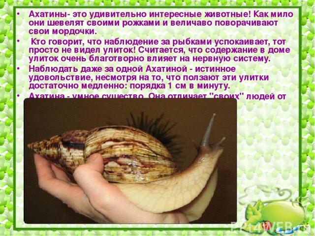 Ахатины- это удивительно интересные животные! Как мило они шевелят своими рожками и величаво поворачивают свои мордочки. Кто говорит, что наблюдение за рыбками успокаивает, тот просто не видел улиток! Считается, что содержание в доме улиток очень бл…