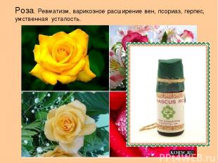 Роза. Ревматизм, варикозное расширение вен, псориаз, герпес, умственная усталост