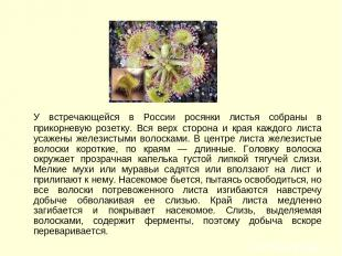 У встречающейся в России росянки листья собраны в прикорневую розетку. Вся верх