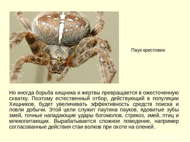Но иногда борьба хищника и жертвы превращается в ожесточенную схватку. Поэтому естественный отбор, действующий в популяции Хищников, будет увеличивать эффективность средств поиска и ловли добычи. Этой цели служит паутина пауков, ядовитые зубы змей, …