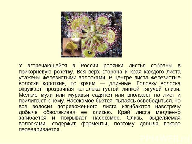 У встречающейся в России росянки листья собраны в прикорневую розетку. Вся верх сторона и края каждого листа усажены железистыми волосками. В центре листа железистые волоски короткие, по краям — длинные. Головку волоска окружает прозрачная капелька …