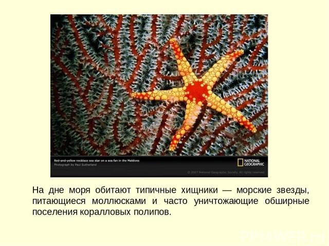 На дне моря обитают типичные хищники — морские звезды, питающиеся моллюсками и часто уничтожающие обширные поселения коралловых полипов.