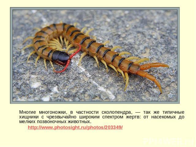 Многие многоножки, в частности сколопендра, — так же типичные хищники с чрезвычайно широким спектром жертв: от насекомых до мелких позвоночных животных. http://www.photosight.ru/photos/203349/